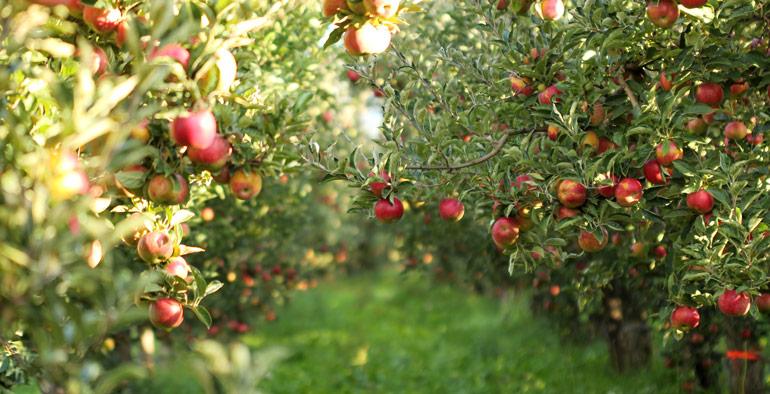 Pommiers et fruits
